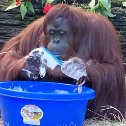 orangutangwashing.jpg