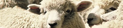 """De wol van """"bio-schapen"""" draagt automatisch het eco-label en daarom is het de perfecte vulling voor de kussens van Lazuli Prints"""