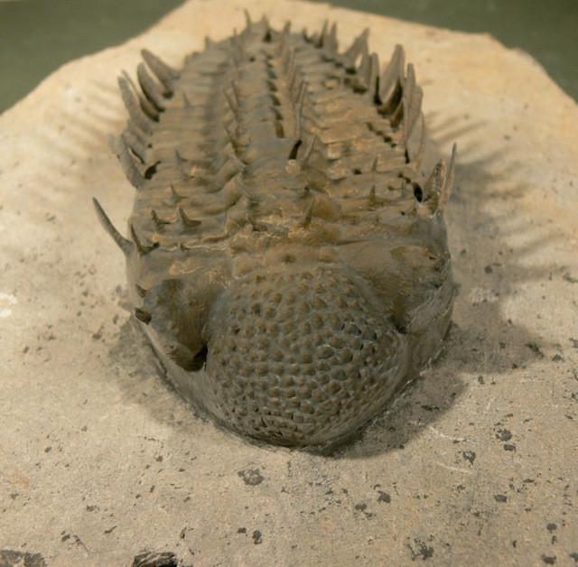 Drotops armatus fossil prepared
