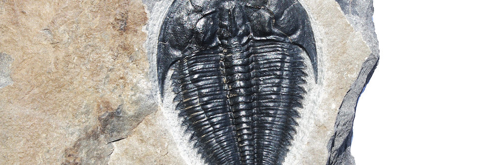 Amecephalus idahoense cambrian trilobite usa