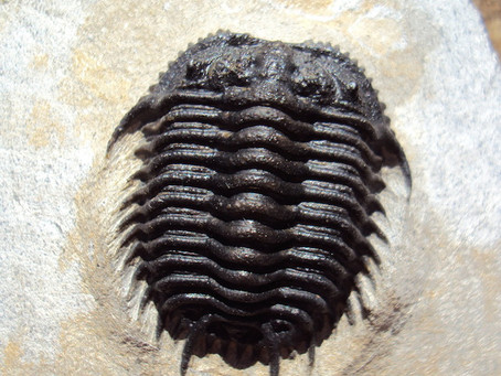 Trilobite of The Month: April Gondwanaspis mrirtensis  from Mrirt Area Morocco