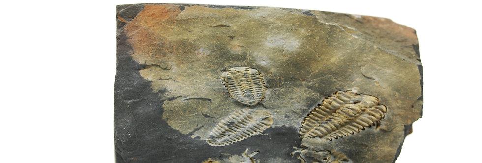 Ordovician Trilobite Placoparia tournemini (ROUAULT)