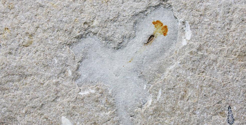 Fossil octopus cretaceous cenomanian Sannine Limestone