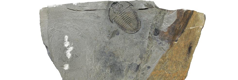 Athabaskia bithus trilobite Wellsville Mountains, Utah