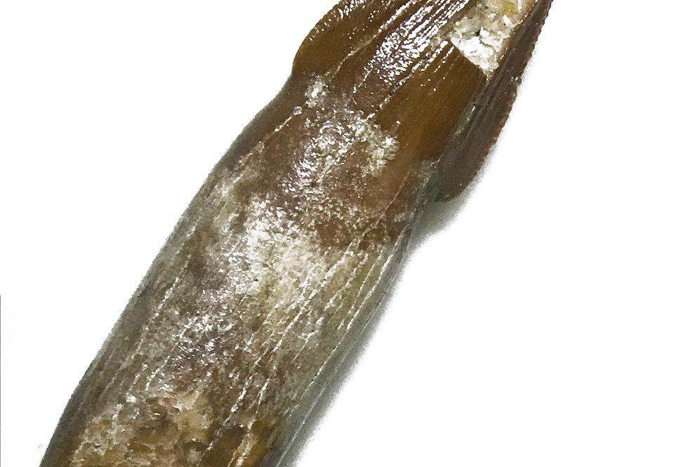 maxillary posterior Crocodile Tooth From Kem Kem rooted Hamadasuchus sp.