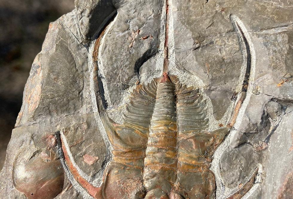 Bristolia bristolensis marble mountain Cambrian trilobite