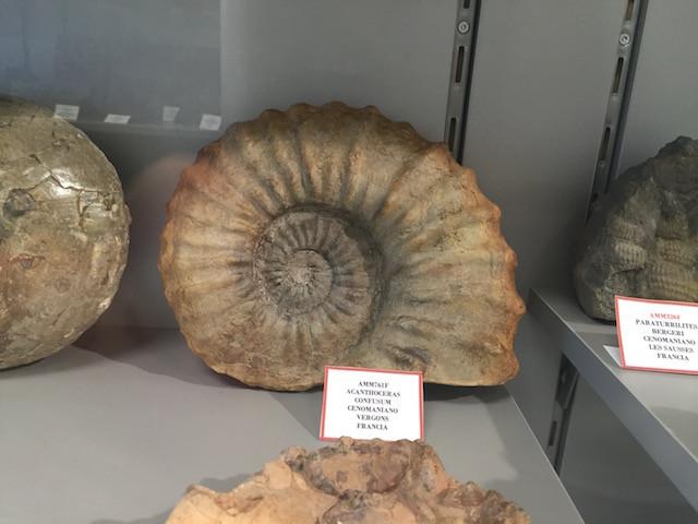 French ammonite