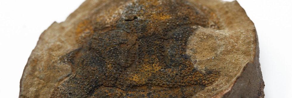 Lichas head in nodule