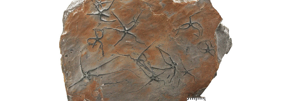 Jurassic Brittlestar Ophiopinna elegans (Heller, 1858) La Voulte sur Rho