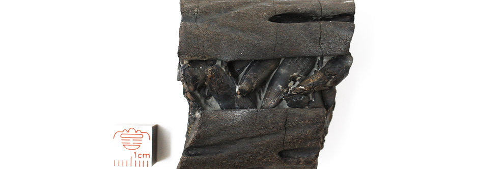 Ichthyosaurus communis? rostrum (De la Beche & Conybeare, 1822)