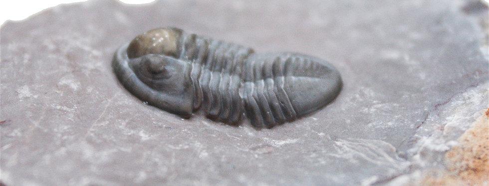 Undescribed devonian trilobite proetid Jorf