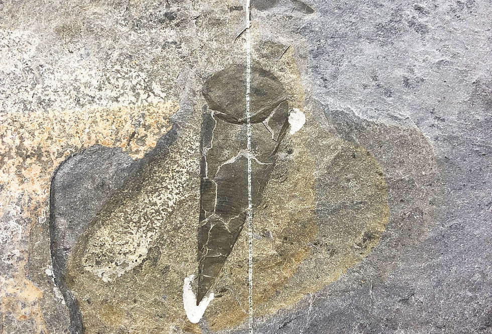 Hyolithes idahoensis Cambrian Spence Shale