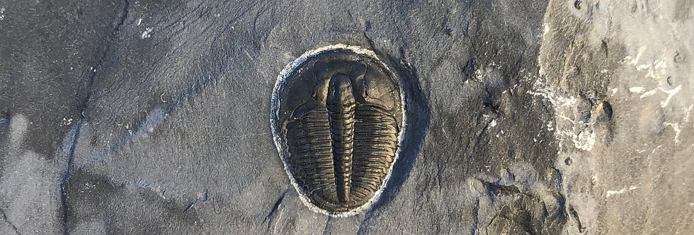 Elrathia kingi Cambrian trilobite on sale trilobiti.com