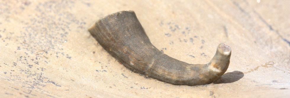 Archaeocyathid undescribed www.trilobiti.com on slab