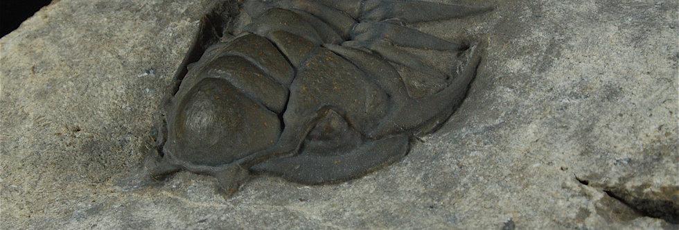 Crotalocephalus (Pilletopeltis) maurus