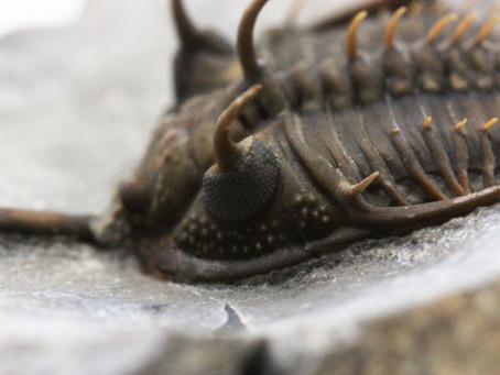 Preparazione Paleontologica di un trilobite del Devoniano del Marocco Walliserops trifurcatus