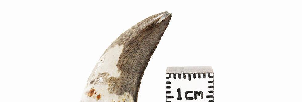 Dinosaur Fossil tooth Dakotaraptor steini (DePalma et al, 2015)