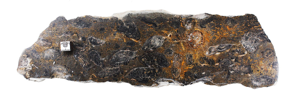 Cambrian Oncolite sp. algal ball stromatolite like