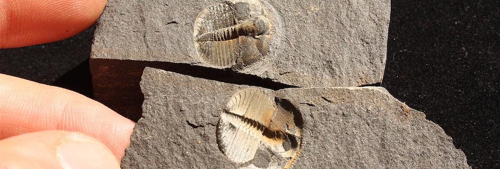 Cryptolithus inopinatus (Whittard, 1958)