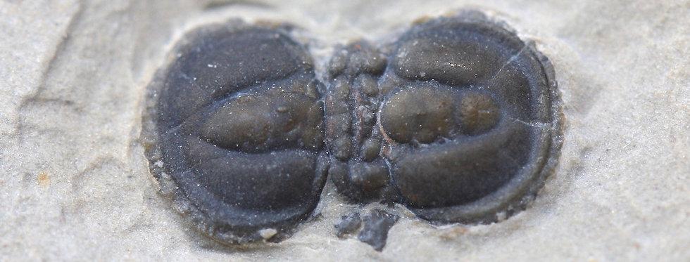 Cambrian Agnostid Peronopsis interstrictus trilobiti.com