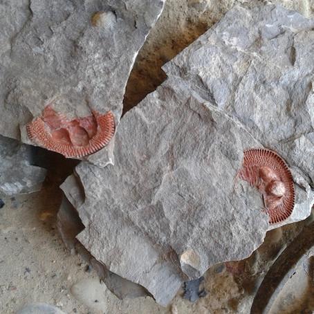 Trilobite Declivolithus cf. alfredi new from Morocco