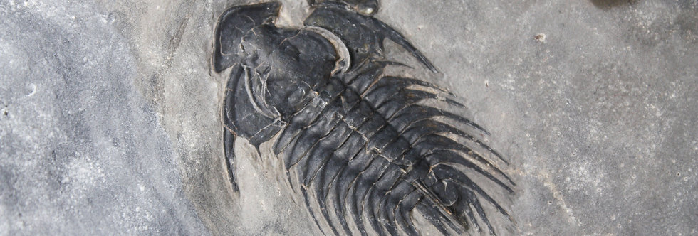 Cambrian trilobite Zacanthoides grabaui (Pack, 1906)