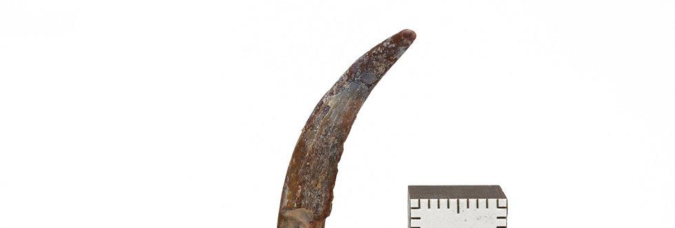 Pterosaurus tooth Ornithocheridae Siroccopteryx?