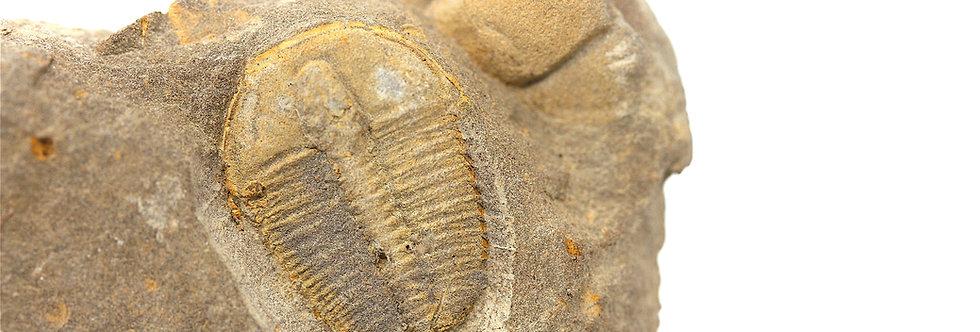 Cambrian Ptychoparella longus Carrara fm