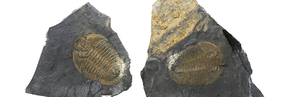 Athabaskia bithus cambrian trilobites from Spance Shale