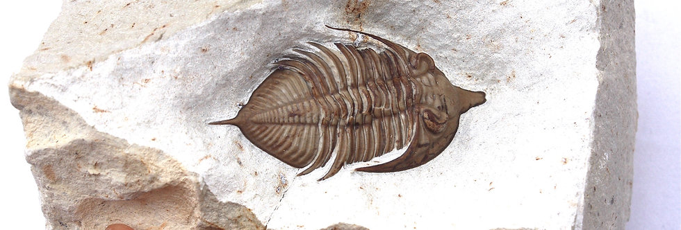 Huntoniatonia (Huntonia) lingulifer