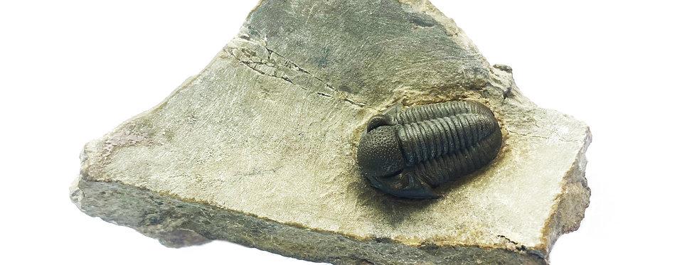 Trilobite Gerastos devoniano Morocco trilobiti.com