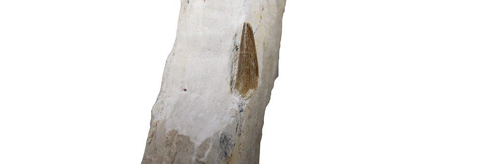 Metriorhynchidae fossil croccodile Jurassic Germany