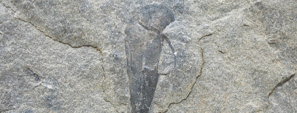Hyolithes cambrian spence shale on sale