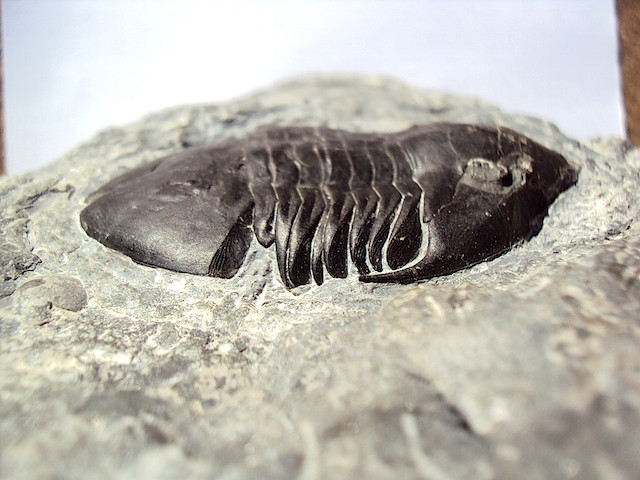Liomegalaspides hupeiensis Dawan Formation