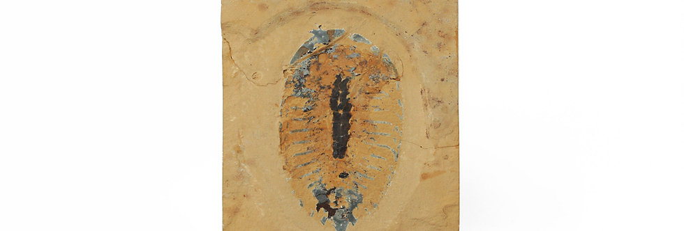Aglaspis sp. Cambrian Aglaspidida arthropod from Weeks formation