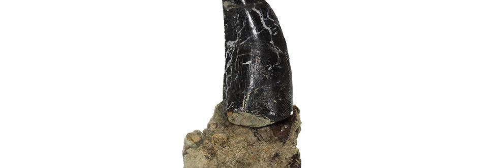Allosaurus fragilis Dinosaur tooth (Marsh, 1877)