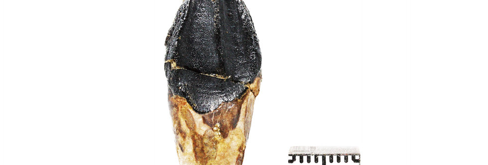 Dinosaur Fossil tooth Triceratops sp.