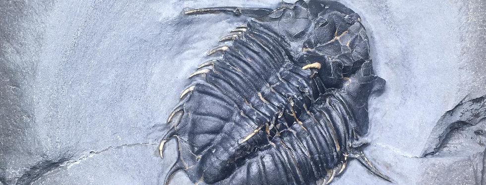 Kootenia randolphi fossil trilobite Utah Cambrian usa on sale