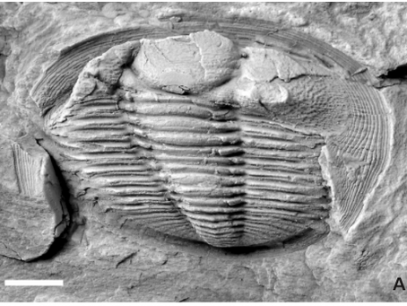 Radnoria guyi sp. nov., a a new Ordovician Trilobite from Portugal