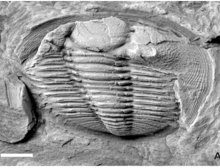 Radnoria guyi sp. nov., a a new Ordovician Trilobite from Portugal