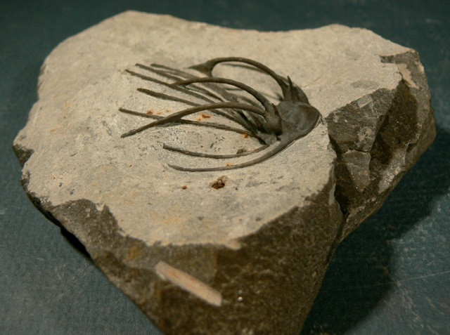 Heliopeltis sp trilobite Devonian fo Morocco 2