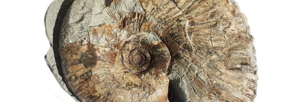 Gaudryceras denseplicatum (Jimbo,1894)