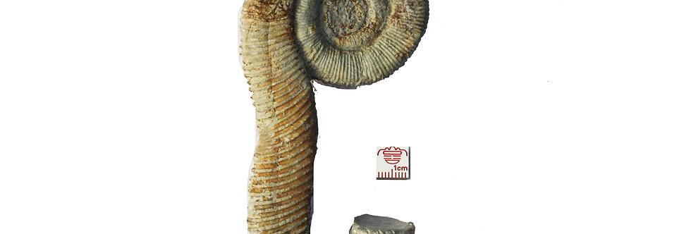 Ammonite Macroscaphites yvani (Puzos, 1832)