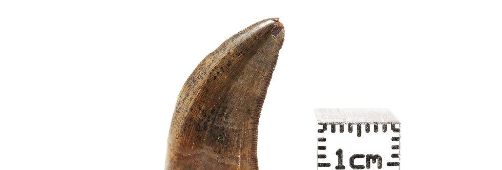 Dinosaur Fossil tooth Dakotaraptor steini? (DePalma et al, 2015)