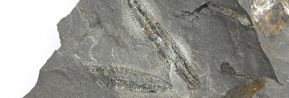 Ordovician Graptolite Phyllograptus sp. Utah Fossil
