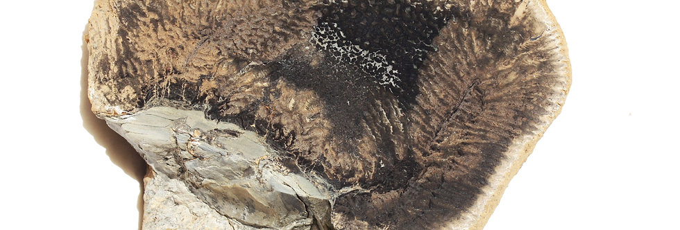 Permian Stromatolite