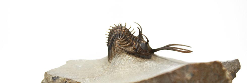 walliserops trilobite devonian on sale trilobiti.com