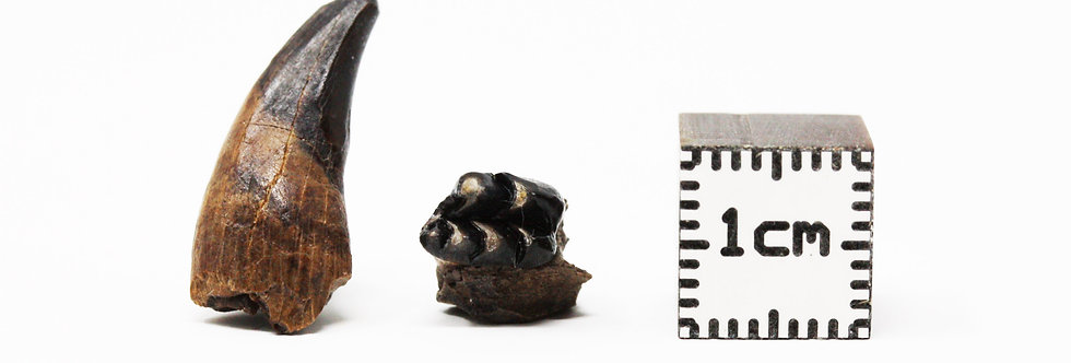 Fossil tooth Mesodma formosa? Multituberculate mammal