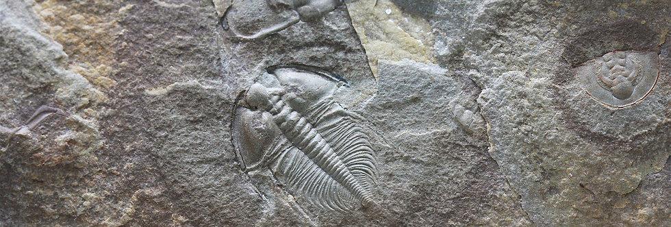 Fossil Trilobite Nephrolenellus geniculatus  (Palmer, 1998)