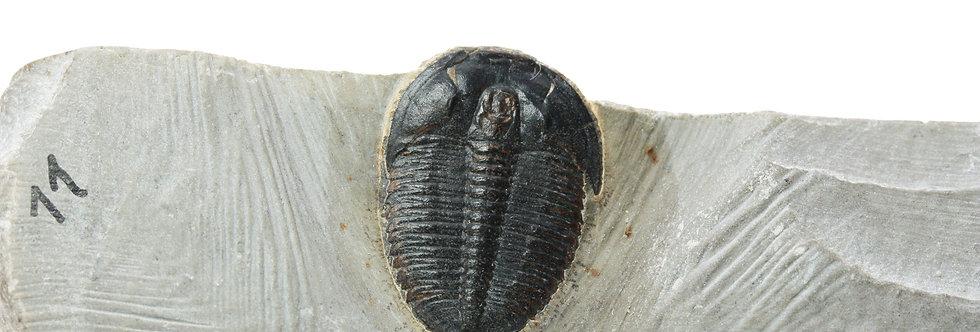 Trilobite Elrathia kingii cambrian utah on sale